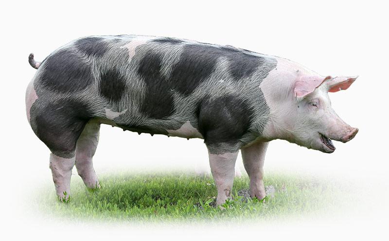 Gundhöring Frischluftschwein
